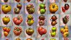 43 odmiany pomidorów które uprawiałam w tym roku – cz. II
